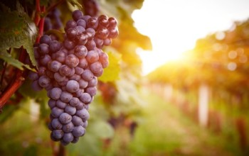 Red-grape-in-vineyards-at-sunset-in-autumn-harvest.-Ripe-grapes-in-fall.